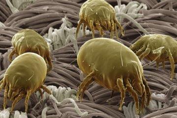 Пылевые клещи и борьба с ними